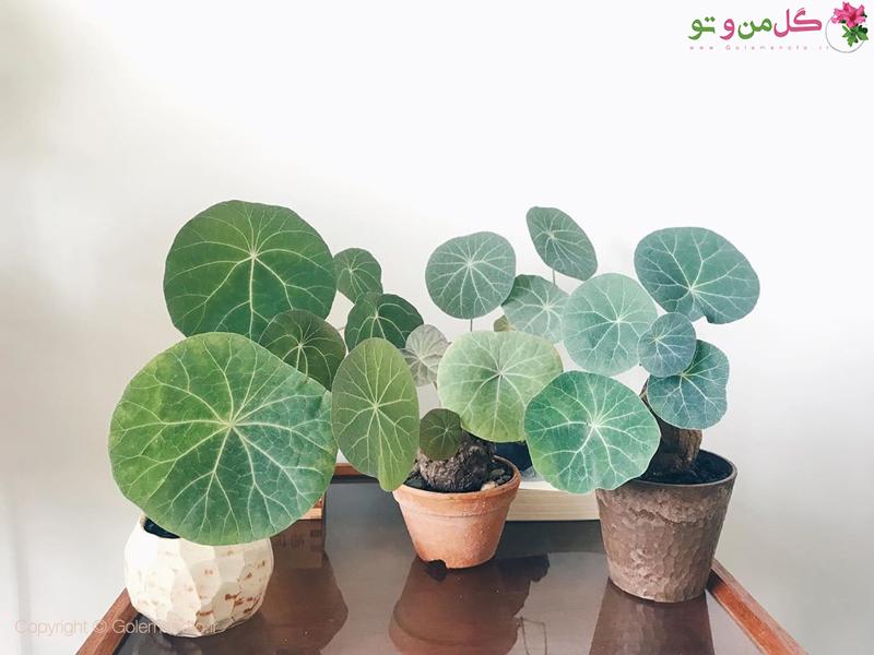 معرفی و کاشت گیاه استفانی