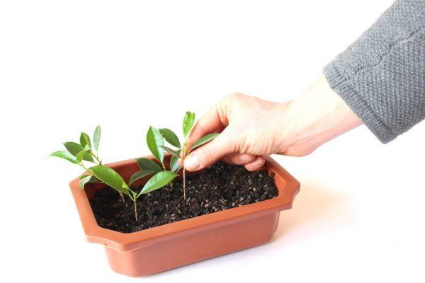 ریشه دار کردن قلمه در خاک
