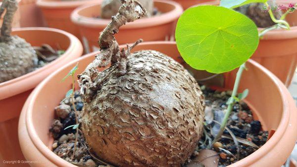 نگهداری گیاه استفانی