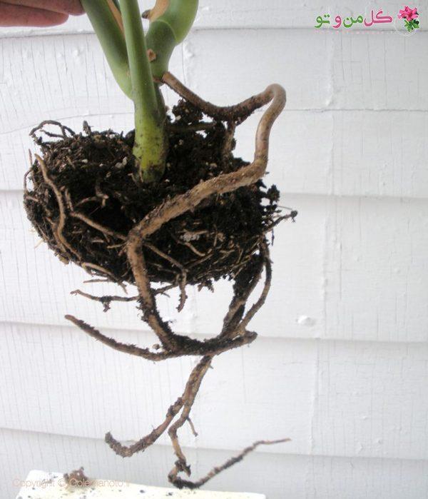 ریشه های گیاه بعد از 9 ماه
