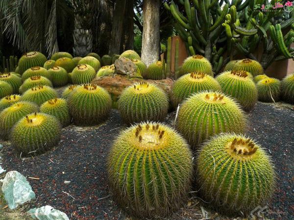 کاکتوس طلایی - گیاهان مقاوم به گرما