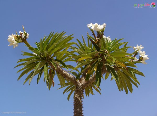 گلدهی نخل ماداگاسکار