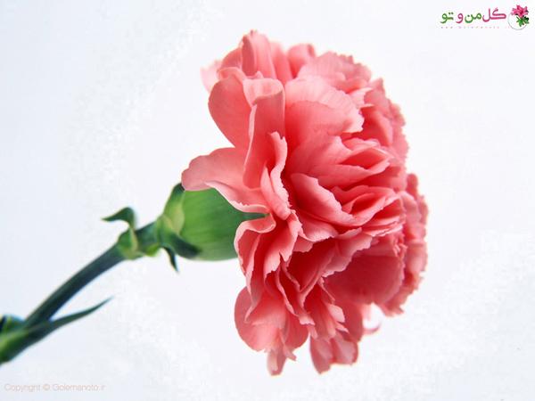 میخک قرمز - بهترین گلها برای هدیه دادن