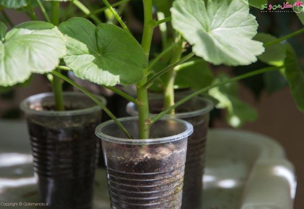 کاشت بذر شمعدانی