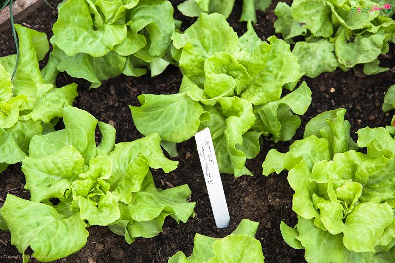 آموزش کامل کاشت کاهو در گلدان و خانه