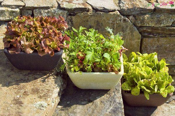 آموزش نحوه کاشت کاهو در گلدان و باغچه