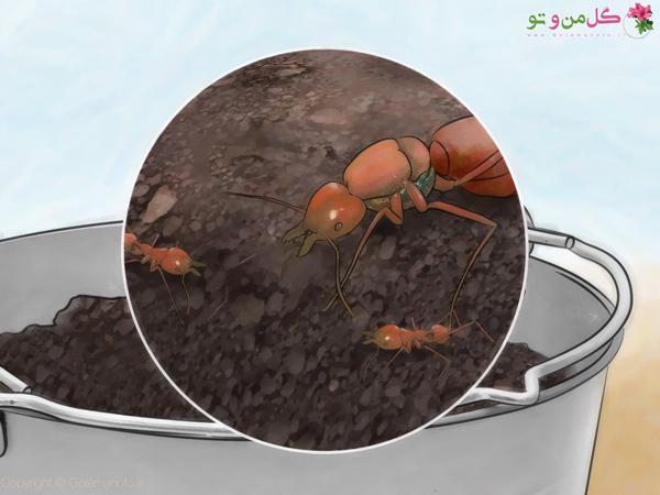 مورچه در خاک گلدان