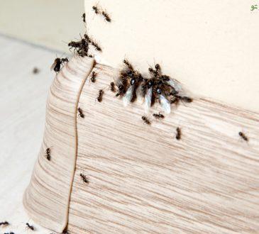 از بین بردن مورچه خانه
