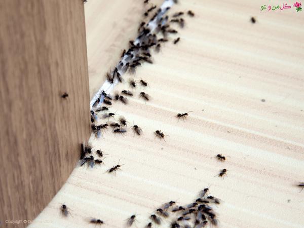 از بین بردن ملکه مورچه ها