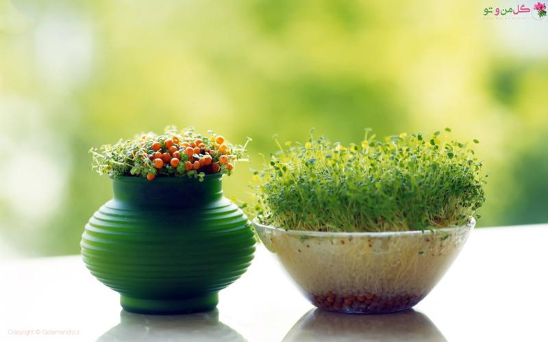 زمان و نحوه کاشت سبزه عید