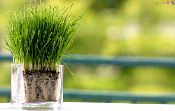 نحوه کاشت سبزه گندم