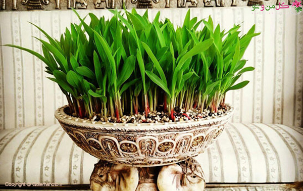 کاشت سبزه ذرت
