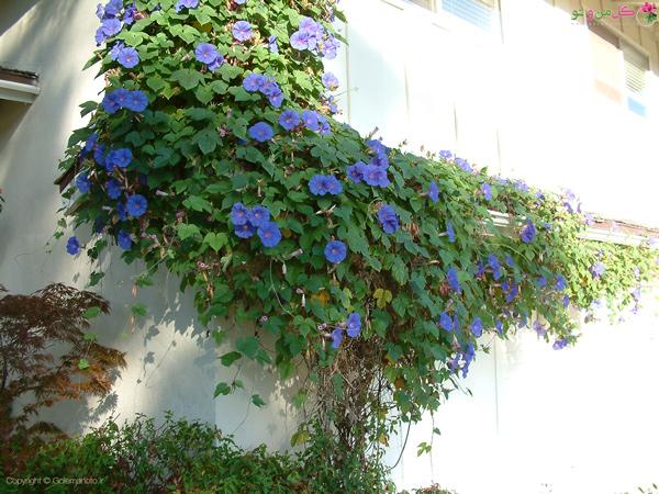 زیبا سازی دیوار با گل نیلوفر