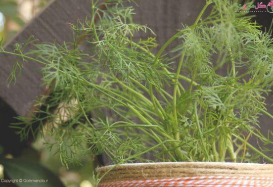کاشت شوید در گلدان و خانه