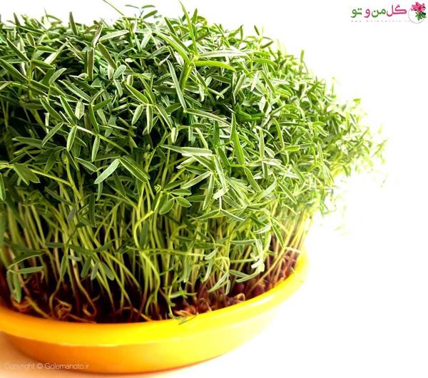 کاشت سبزه ماش