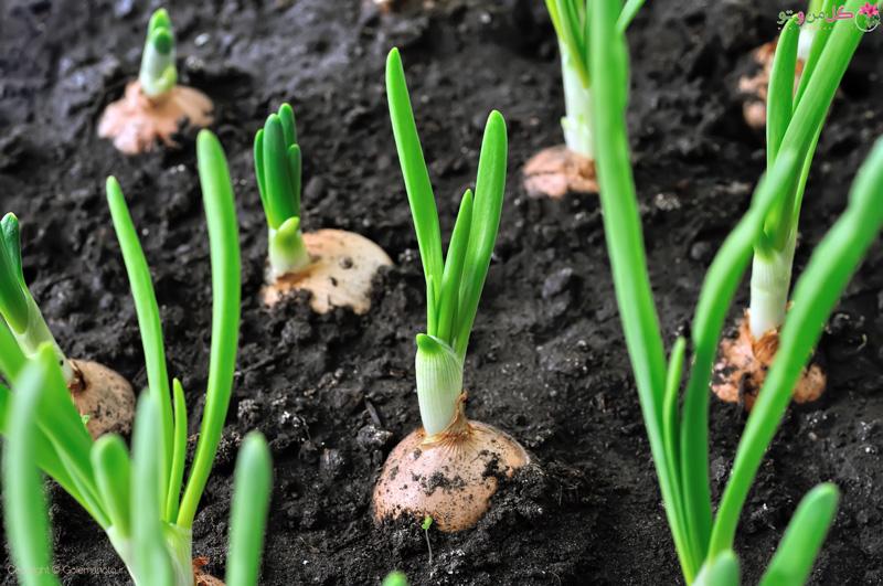کاشت پیاز در گلدان و باغچه