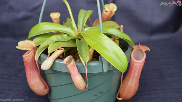 گیاهان حشره خوار - گیاه کوزه ای Nepenthes