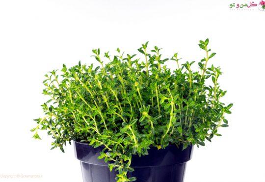 کاشت مرزه در گلدان و باغچه