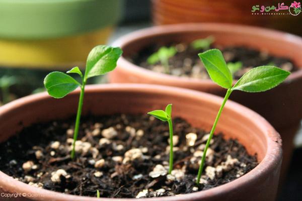 نحوه کاشت سبزه مرکبات در خانه