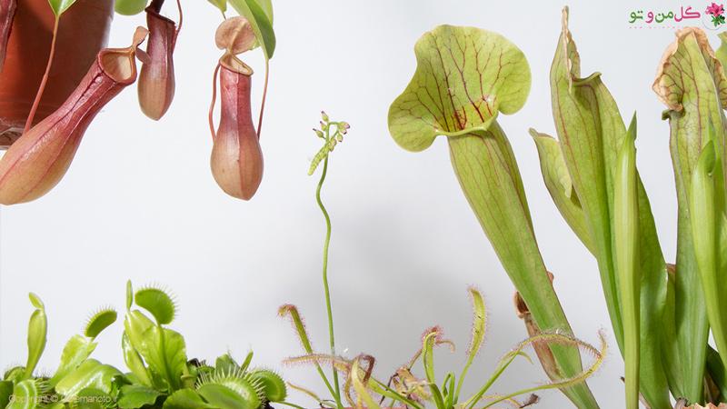 گیاهان گوشتخوار - گیاهان حشره خوار