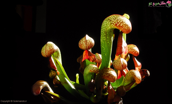 گیاه کوزه ای کالیفرنیا یا سوسن کبری