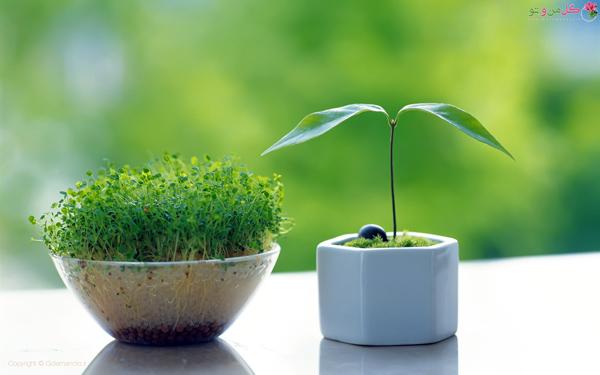نحوه کاشت سبزه عید