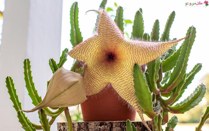 کاکتوس قورباغه ای یا استاپلیا