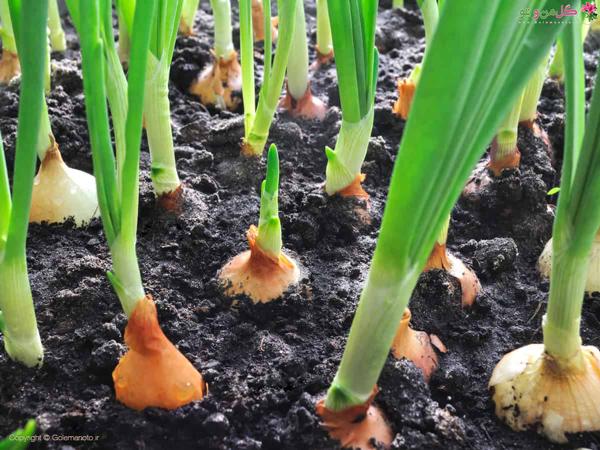 کاشت پیاز در باغچه