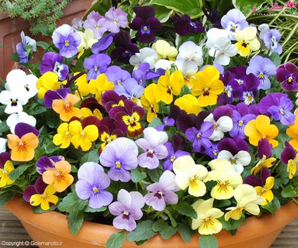 گلهای بهاری - گل بنفشه