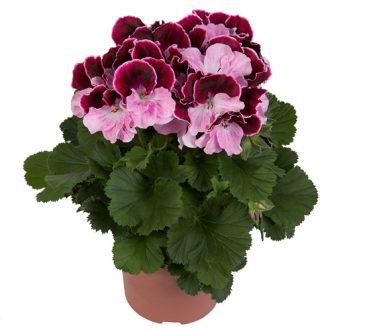 گل شمعدانی اژدر