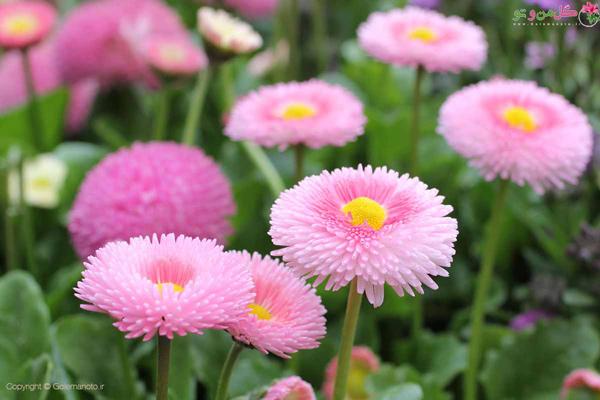 گل های بهاری زیبا - گل مینای چمنی