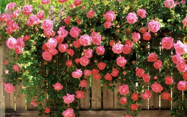 گل های زیبای بهاری ؛گل محمدی