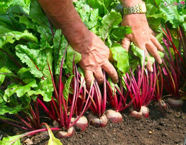 کاشت چغندر در باغچه