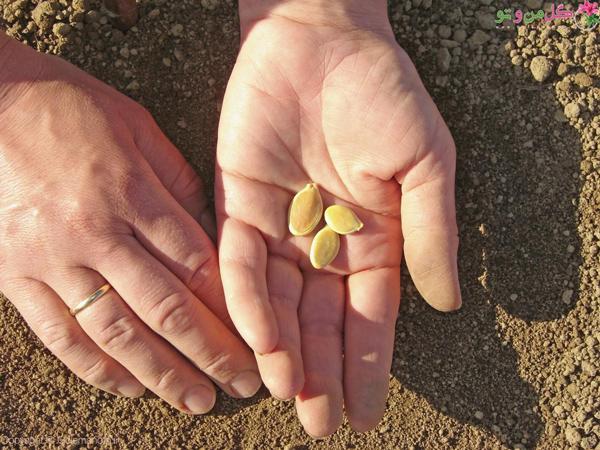 کاشت بذر کدو حلوایی