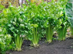 آموزش کاشت کرفس در گلدان و باغچه
