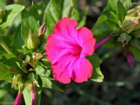 نگهداری و کاشت گل لاله عباسی