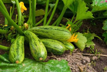 کاشت کدو سبز خورشتی در گلدان و باغچه