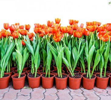 روش و زمان کاشت پیاز گل لاله در گلدان و باغچه