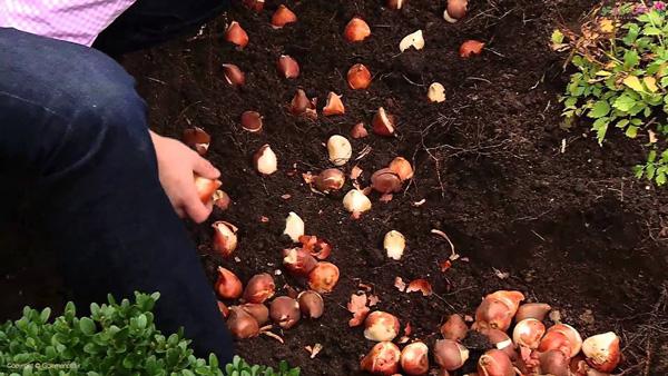 کاشت گل لاله در باغچه