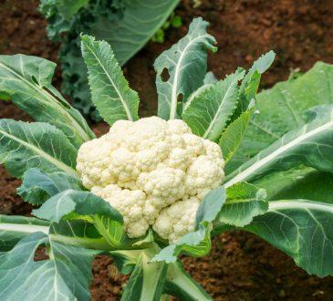 کاشت گل کلم در گلدان و باغچه