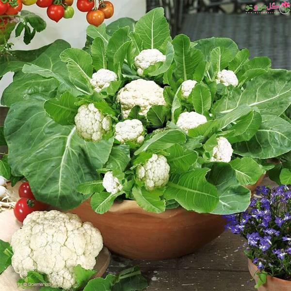 کاشت گل کلم در گلدان