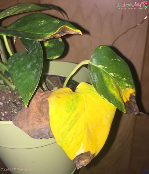 زرد شدن برگ پوتوس