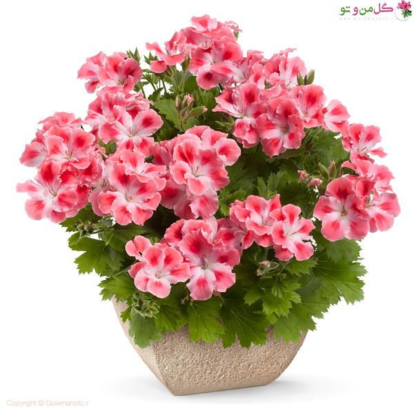 گل اژدر