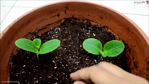 کاشت کدو سبز در گلدان