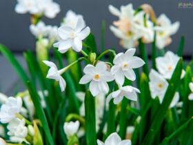 نگهداری و کاشت گل نرگس در خانه