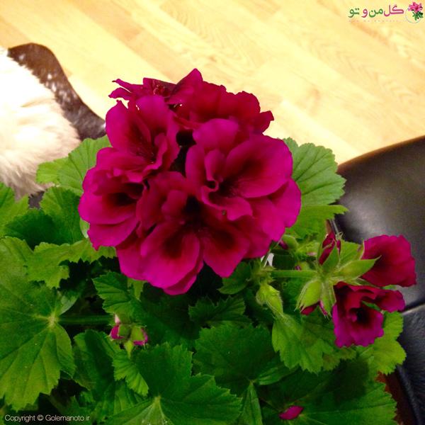 گلدهی گیاه اژدر
