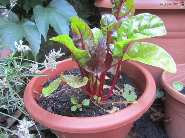 کاشت چعندر در گلدان