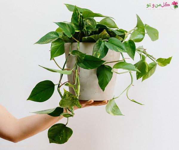 تعویض گلدان پوتوس