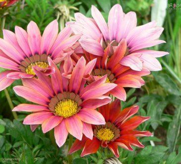 معرفی و نگهداری گل گازانیا