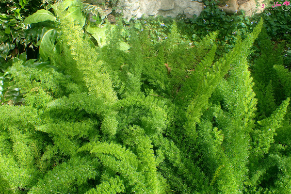 گیاه شویدی - Asparagus densiflorus